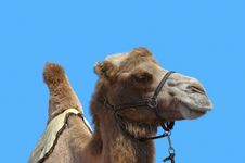 Free Camel With Harness And Blue Sky Background Stock Photography - 20968822