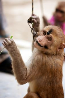 Free Indian Male Monkey In Makeup Royalty Free Stock Photography - 20968887