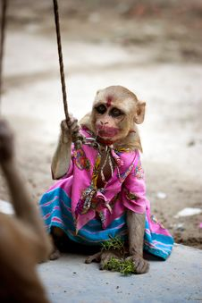 Indian Female Monkey In Pink Costume Royalty Free Stock Images