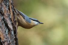 Free Nuthatch Stock Images - 20969484