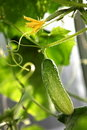 Free Green Cucumber Hang On A Green Branch Stock Photography - 20971262