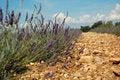 Free Lavender Stock Image - 20971281