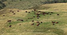 Free Cattles Royalty Free Stock Image - 20970156