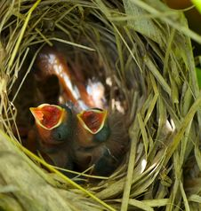 Free Baby Wrens In The Nest. Royalty Free Stock Photography - 20970277