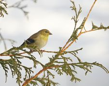Free American Goldfinch In Winter. Stock Images - 20970394