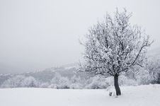 Free Solitaire Tree In Snowy Country Royalty Free Stock Image - 20970456