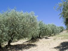 Free Olive Tree Stock Images - 20971244