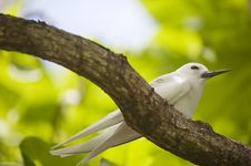 Free Fairy Tern On The Branch Royalty Free Stock Photos - 20971848