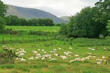 Free Flock Of Sheep Stock Photo - 20972140