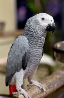 Free African Gray Parrot And White Face Royalty Free Stock Image - 20972436