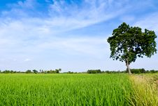 Free Single Tree Standing Alone Royalty Free Stock Photography - 20972607