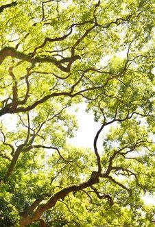 Free Branch Of  Big Tree Stock Image - 20972921