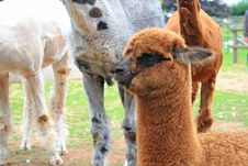 Free Baby Of Lama Royalty Free Stock Image - 20972926