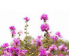Free Pink Flower Stock Photos - 20973163