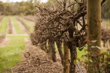 Free Winter Vineyards Stock Images - 20973294