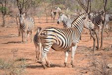 Free Burchell Zebra Royalty Free Stock Photography - 20973357