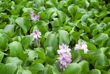 Free Image Of Water Hyacinth In The Pond Royalty Free Stock Image - 20974356