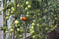 Free Fresh Tomatoes Stock Image - 20975601