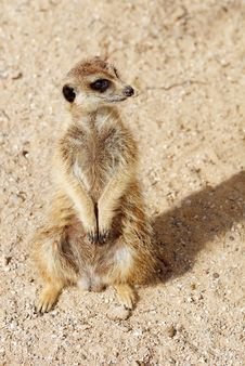 Free Portrait Of Meerkat Stock Photo - 20976200