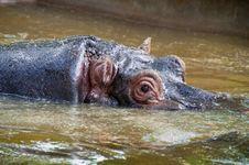 Free Hippo Stock Photo - 20976850