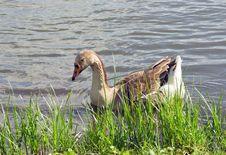 Free Goose Ashore Stock Photos - 20976853