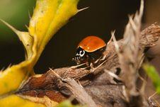 Free Asian Ladybug Beetle (Harmonia Axyridis) Stock Photo - 20976890