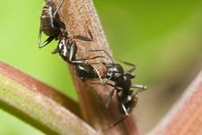 Two Black Ants Stock Image