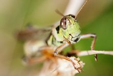 Free Close-up Of A Grasshopper Stock Photography - 20976902
