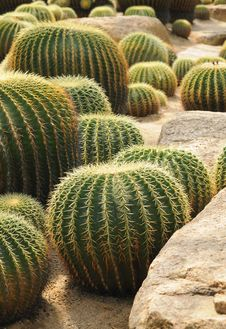 Free Ball Shaped Cacti Royalty Free Stock Photography - 20977347