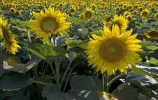 Free Sunflower Summer Landscape Royalty Free Stock Photos - 20979078