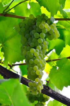 Free Juicy Bunch Of Grapes Stock Photos - 20979103