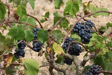Free Red Grapes On A Tree Trunk Stock Images - 20979194
