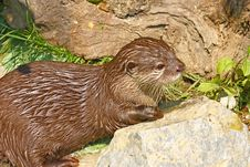 Free Oriental Small-clawed Otter Stock Photos - 20979463