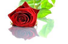 Free Red Rose Stock Image - 20979481
