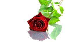 Free Red Rose Stock Photos - 20979483