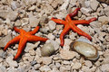 Free Two Starfish Seashell And On The Beach Royalty Free Stock Photo - 20988935