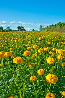 Free Marigold Flower Stock Photos - 20981823