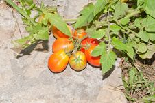 Plum Tomatoes Ripening In The Sun Royalty Free Stock Images