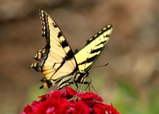 Free Eastern Tiger Swallowtail Stock Photography - 20982182