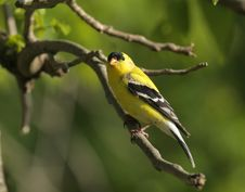 Free Goldfinch Stock Photography - 20982202