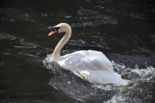 Free Swan In A Pond Royalty Free Stock Photo - 20982255