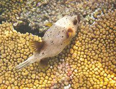Free Puffer Fish Royalty Free Stock Photo - 20982295