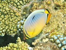 Free Butterfly Fish Royalty Free Stock Photography - 20982297