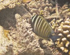 Free Butterfly Fish Royalty Free Stock Images - 20982299