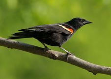 Free Red-winged Blackbird Royalty Free Stock Photos - 20982368