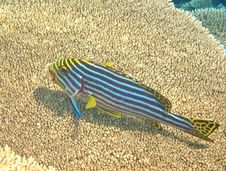 Free Yellow Snappers In Maldives Stock Images - 20982564