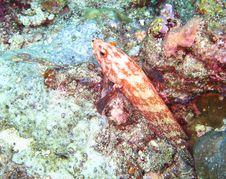 Free Duskyfin Rock Cod Stock Images - 20982824