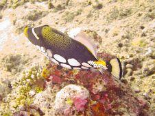 Free Puffer Fish Stock Photography - 20982872