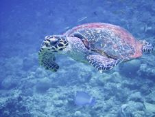 Free Sea Turtle In Maldives Stock Photos - 20982983