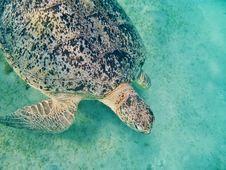Free Sea Turtle In Maldives Royalty Free Stock Photo - 20983595
